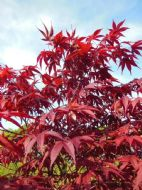 Acer Palmatum 'Japanese Maple'Bonsai or Garden 10 Seeds